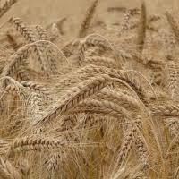 Pšenica a raž