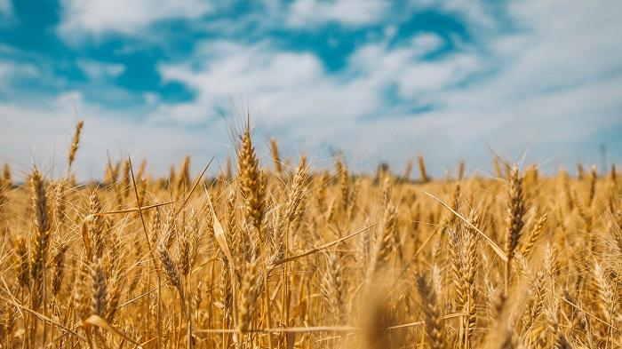 Pšenica a jej pestovanie